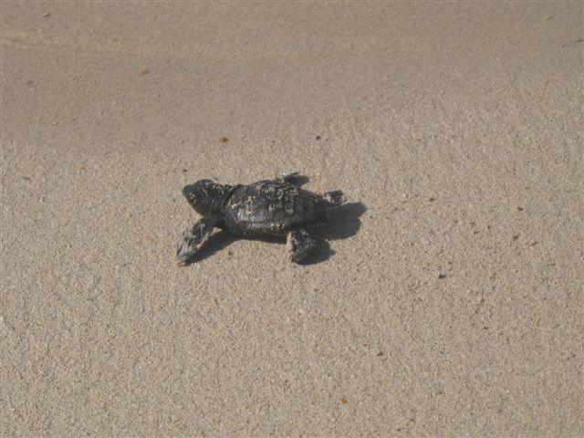 Iniziata la schiusa dei nidi di tartaruga marina nella for Incubazione uova tartaruga